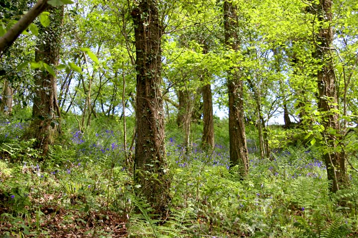 Bluebells in the wood above the trackbed near Chelfham