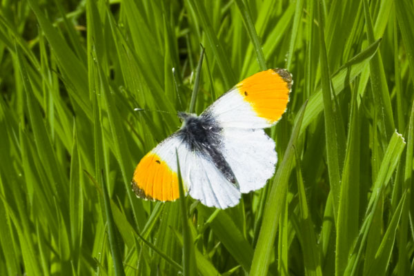 Orange Tip Butterfly at Snapper