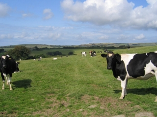 Cow on trackbed